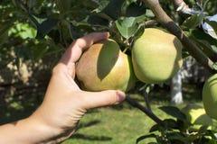 Äpplen på tree Arkivbilder