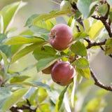 Äpplen på treen Royaltyfri Foto