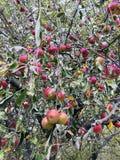 Äpplen på treen royaltyfri fotografi