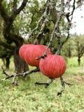 Äpplen på treen arkivbilder
