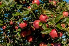 Äpplen på treen Arkivfoto