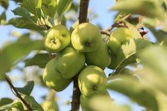 Äpplen på treen Royaltyfria Bilder
