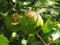 Äpplen på treen Royaltyfria Foton