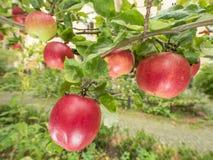 Äpplen på treen Arkivbild