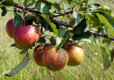 Äpplen på treen Fotografering för Bildbyråer