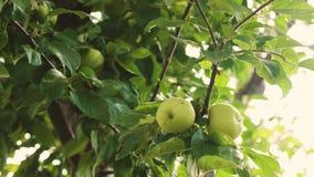 Äpplen på treen Gröna äpplen på filialen härliga äpplen mognar på trädet Jordbruks- affär Organisk frukt arkivfilmer