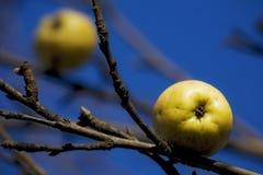 äpplen sist Royaltyfri Bild