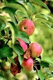 Äpplen som är klara att skörda den vertikala closeupen Royaltyfria Foton