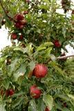 Äpplen som är mogna för att skörda på filialerna Arkivfoton