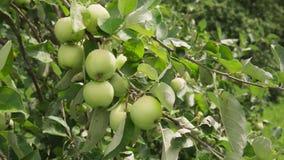 Äpplen som är mogna på filial i solljus i frukt, arbeta i trädgården lager videofilmer