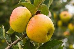 Äpplen som är rödbruna på trädet Royaltyfri Foto