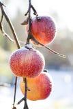 äpplen som frysas vinter Arkivbild