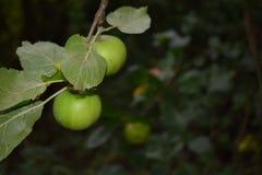 Äpplen som hänger av ett träd Arkivfoto