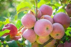 Äpplen som hänger från en trädfilial i en äpplefruktträdgård arkivbild