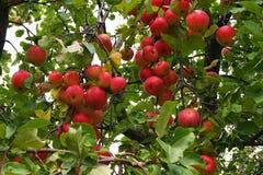 Äpplen som hänger på äppleträd Royaltyfria Bilder