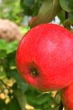 Äpplen som hänger på äppleträd Arkivfoton