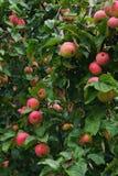 Äpplen som hänger på äppleträd Arkivfoto