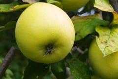 Äpplen som hänger på äppleträd Arkivbild