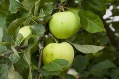 Äpplen som hänger på ett träd Royaltyfria Bilder