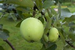 Äpplen som hänger på ett träd Royaltyfri Bild