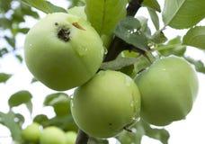 Äpplen som hänger på ett träd Arkivfoton