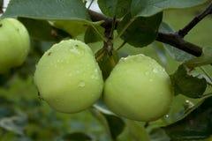 Äpplen som hänger på ett träd Royaltyfri Foto