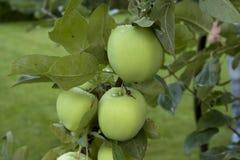 Äpplen som hänger på ett träd Arkivfoto