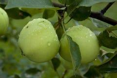 Äpplen som hänger på ett träd Royaltyfri Fotografi