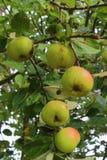 Äpplen som mognar på ett äppleträd Royaltyfri Foto