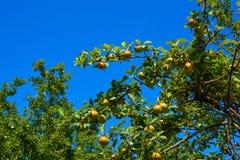 äpplen som ripening Royaltyfri Bild