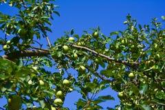 äpplen som ripening Royaltyfri Foto