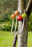 Äpplen som spetsas på gafflarna arkivbilder