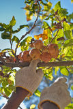 äpplen som väljer upp Royaltyfri Bild