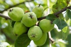 Äpplen som växer på träd i trädgård Äpplen på en filial Royaltyfri Bild