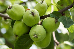 Äpplen som växer på träd i trädgård Äpplen på en filial Arkivfoto