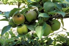 Äpplen till en filial i en fruktträdgård Arkivfoto