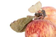 äpplen torkar röda leaves royaltyfri bild