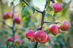 Äpplen växer i trädgården Royaltyfri Foto