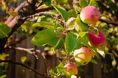 Äpplena på treen Arkivfoton