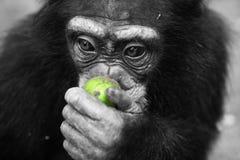 äppleschimpans Arkivfoto