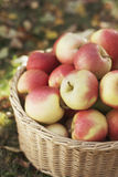 äppleskörd arkivbilder