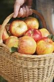 äppleskörd royaltyfri foto