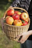 äppleskörd arkivfoto