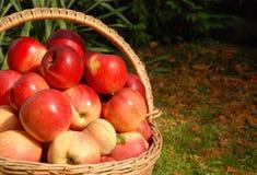 äppleskörd Royaltyfri Fotografi