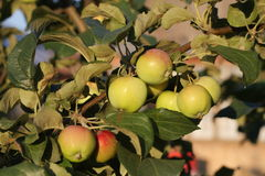 äppleskörd 2015 i landet royaltyfria foton