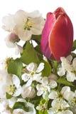 äpplet blommar den lulic tulpan Royaltyfri Foto