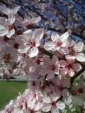 äpplet blommar fjädern tr Fotografering för Bildbyråer