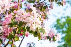 äpplet blommar pink Arkivfoto