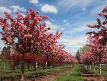 äpplet blommar radtrees Arkivbilder