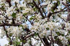 äpplet blommar treen arkivfoto